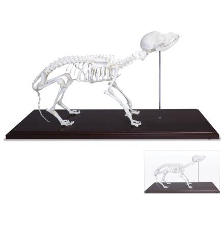 Skelett Hund naturben monterat