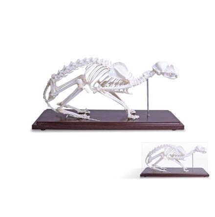 Skelett Katt  naturben monterat